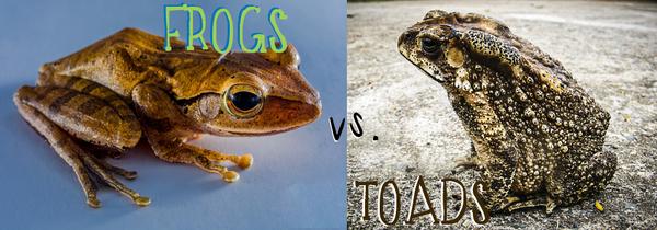 FrogsVToads 2